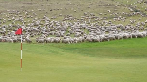 Les 1200 moutons sur le golf du Grand Saint-Emilionnais