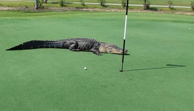 Golf crocodile sur un green